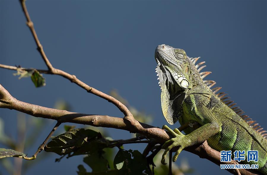 1月10日,在台北动物园,一只蜥蜴爬上树枝晒太阳。