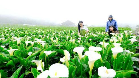 浪漫花海来袭 台湾阳明山海芋季开跑!