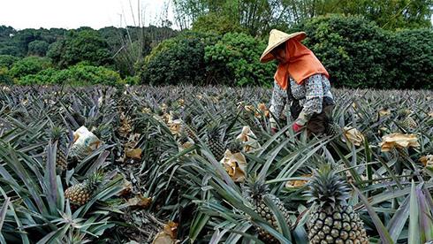 台湾:凤梨进入采收季